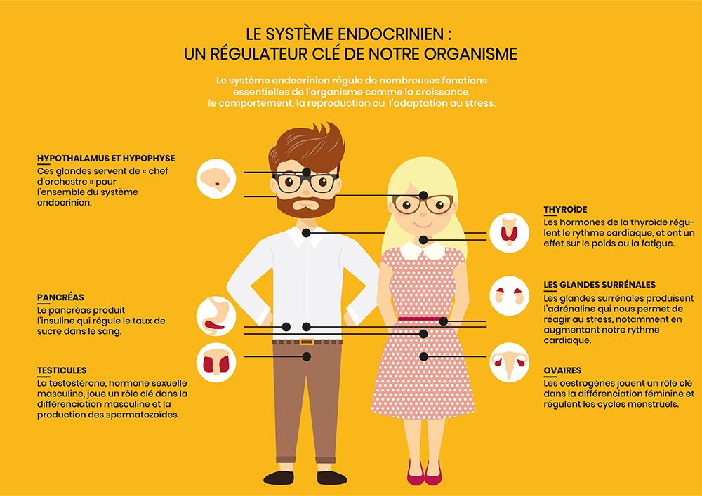 le système endocrinien régule notre organisme